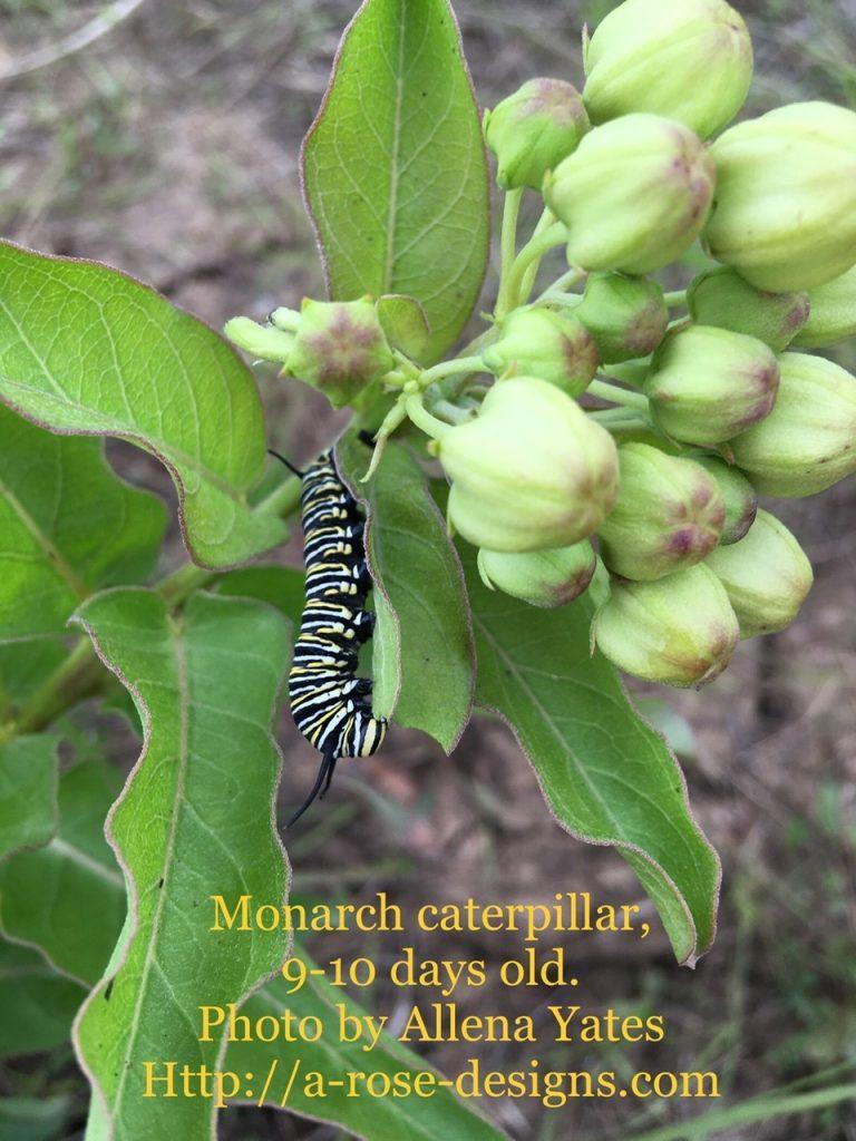 Monarch caterpillar munching Spider Milkweed