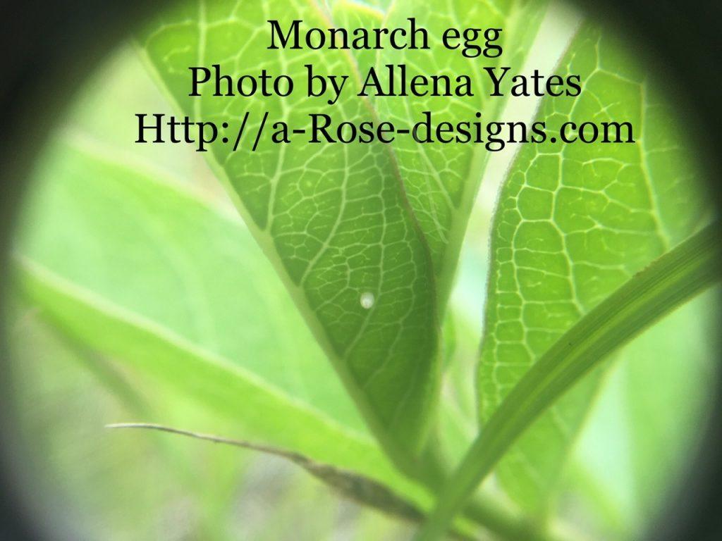 Monarch egg May 31, 2021